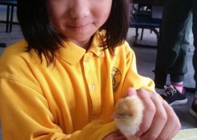Holding chicks 4