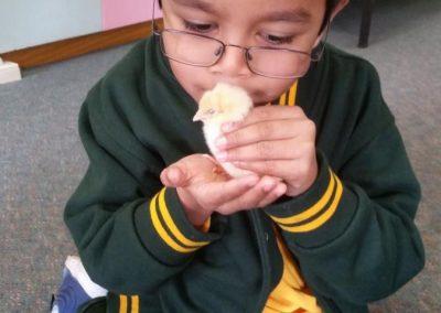 Holding chicks 6